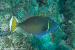 BD-130713-Maldives-0559-Sufflamen-chrysopterum-(Bloch---Schneider.-1801)-[Halfmoon-triggerfish].jpg